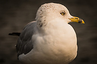 "A Ring-billed gull looks to its left, offering its profile to the camera at a neighborhood park known as ""The Duck Pond""."