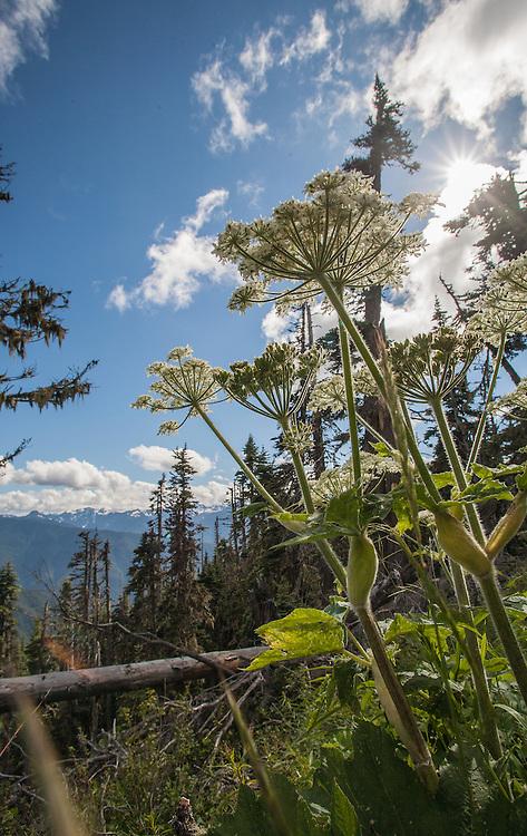 Olympic National Park; Hurricane Ridge, cow parsnip, Heracleum maximum, Olympic Peninsula; Washington State; Pacific Northwest; USA,