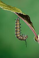 MONARCH BUTTERFLY life cycle..Fifth instar on Joe-Pye Weed leaf..North America. Danaus plexippus.