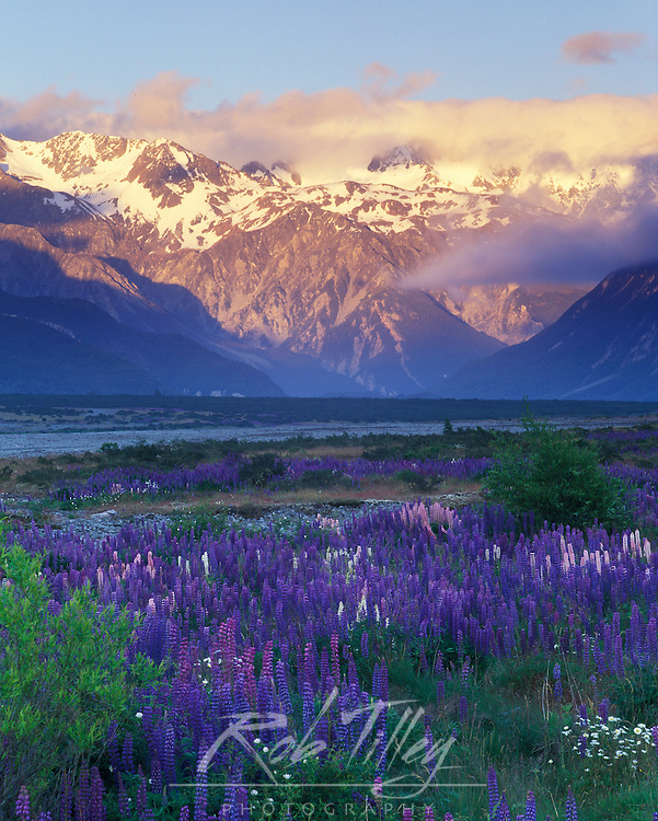 New Zealand, South Island, Arthur's Pass NP, Lupine and the Main Divide