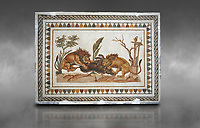 Picture of a Roman mosaics design depicting Lions eating a boar, from the ancient Roman city of Thysdrus. 2nd century AD, House of the Dionysus Proccession. El Djem Archaeological Museum, El Djem, Tunisia. Against a grey background