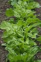 Spinach 'Perpetual'  or Spinach Beet<br /> (Beta vulgaris var. vulgaris), early June.