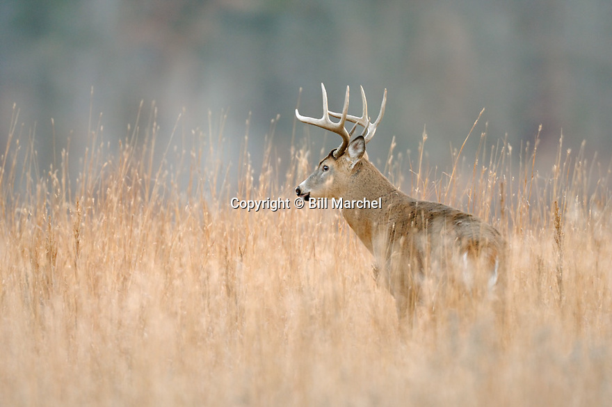 00274-305.10 White-tailed Deer Buck (DIGITAL) with large 8-pt. antlers and big body is in meadow during fall.  Hunt, Hunting.   H3A1