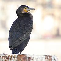 A cormorant on a pillar, on the Seine river. This is an enlargement of the original photo (Parigi, 2010).<br /> <br /> Un cormorano su un pilone, sulla Senna. Questo è un ingrandimento della foto originale (Parigi, 2010).