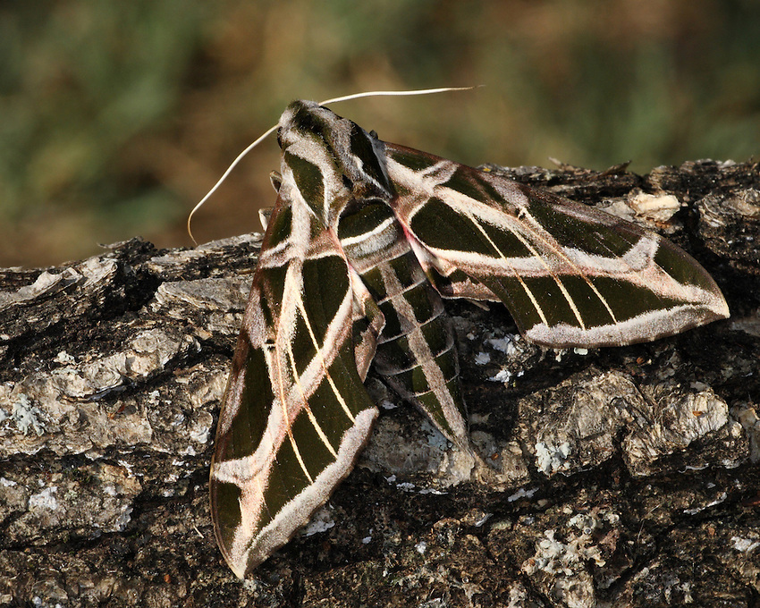 White-lined Sphinx Moths are among the largest of flying insects, with adult wingspans exceeding 5 inches.