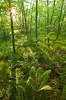 Cinnamon ferns in beech forest, Unaka Mountain Wilderness Area