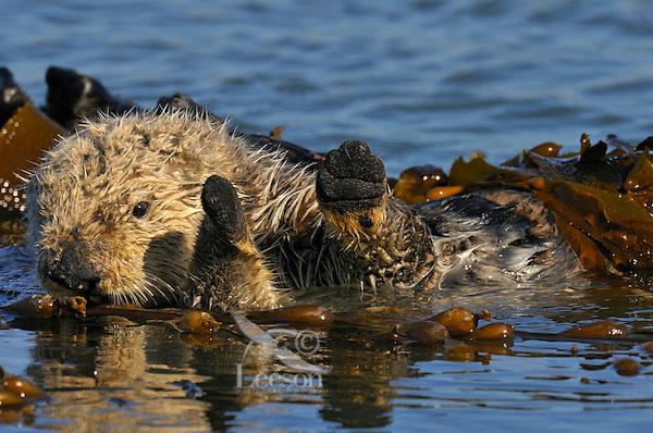 Sea Otter (Enhydra lutris) in kelp.