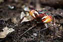 Forest Crab {Potamonautidae} on rainforest floor raising claws in defensive display. Masoala Peninsula National Park, north east Madagascar.