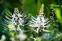 Delicate white flowers called Cat's Whiskers or Java Tea bloom at Hawaii Tropical Botanical Garden near Onomea Bay in Papa'ikou near Hilo, Big Island of Hawai'i.