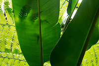 Fern silhouetted behind Large leaf. Hawaii Tropical Botanical Gardens, The Big Island