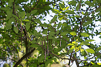 Prächtiger Trompetenbaum, Catalpa speciosa, northern catalpa, hardy catalpa, western catalpa, cigar tree, catawba-tree, Le Catalpa à feuilles cordées, Catalpa de l'Ouest, Catalpa élégant, Bois chavanon