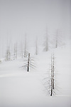 Burned trees from a forest fire stand in a winter white landscape at Lolo Pass on the Idaho - Montana border