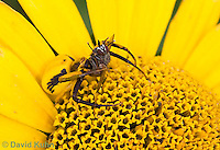 0114-1002  Crab Spider Consuming Fly, Misumenoides spp.  © David Kuhn/Dwight Kuhn Photography