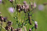 Moschusbock, Moschus-Bock, Moschusbockkäfer, Moschus-Bockkäfer, Aromia moschata, musk beetle, L'aromie musquée