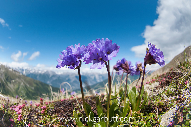 Viscid Primrose (Primula latitolia) on high mountian ridge. Nordtirol, Austrian Alps, Austria, July.