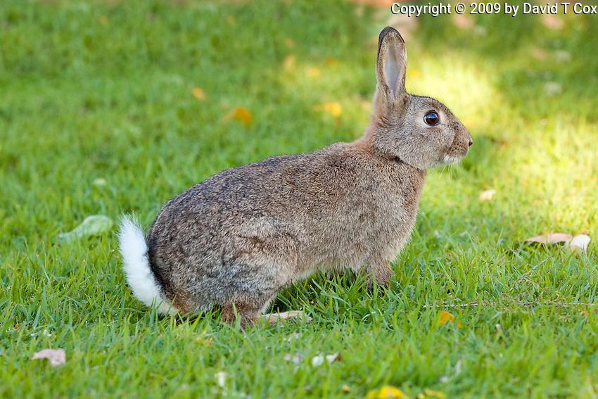 Australian Rabbit, Iluka, NSW, Australia