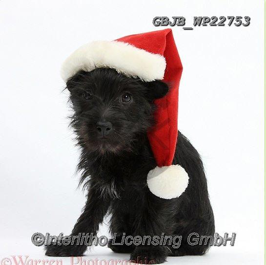 Kim, CHRISTMAS ANIMALS, WEIHNACHTEN TIERE, NAVIDAD ANIMALES, fondless, photos+++++,GBJBWP22753,#xa#