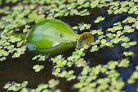 Gelbe Teichrose, Teichrose, Mummel, Frucht, Nuphar lutea, Brandy Bottle, Yellow Pond Lily, Yellow Water Lily, fruit, Nénuphar commun, Schwimmblatt-Pflanze, Schwimmblattpflanze
