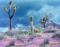 Joshua trees and sand verbena flowers. Joshua Tree National Park, California