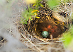 Rufous-collared Sparrow (Zonotrichia capensis) chicks and egg in nest, Abra Granada, Andes, northwestern Argentina