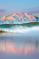 Trumpeter swan swims amidst the morning fog over the calm waters of Wonder Lake at sunrise, Denali looms in the distance, Denali National Park, Alaska.