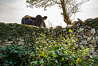 A cow looking over a stone wall, Far Arnside, Cumbria. UK.