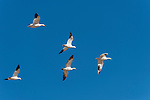 Sonny Bono Salton Sea National Wildlife Refuge, Salton Sea, California; five Snow Geese (Chen cairulescens) flying in formation overhead, during their migration