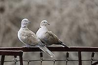 Türkentaube, Türken-Taube, Taube, Tauben, Paar, Pärchen, Streptopelia decaocto, Collared Dove, Eurasian collared-dove, Tourterelle turque