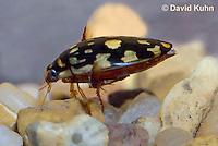 0405-1106  Sunburst Diving Beetle, Diving Beetle Swimming Underwater, Arizona, Thermonectus marmoratus  © David Kuhn/Dwight Kuhn Photography