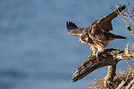 La Jolla, California; a juvenile Peregrine Falcon (Falco peregrinus) spreading its wings in preparation for flight, while perched on a tree branch on a cliff with the Pacific Ocean in the background