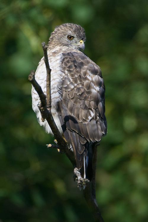 Borad-winged Hawk perched on a branch
