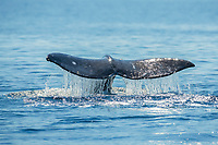 Gray whale, Eschrichtius robustus, raising fluke before diving, on southern migration to calving lagoons in Baja, San Diego, California, USA, Pacific Ocean