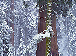 A winterscape in Sequoia National Park, California
