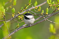 Black-capped Chickadee (Parus atricapillus). Spring. Great Lakes Region.