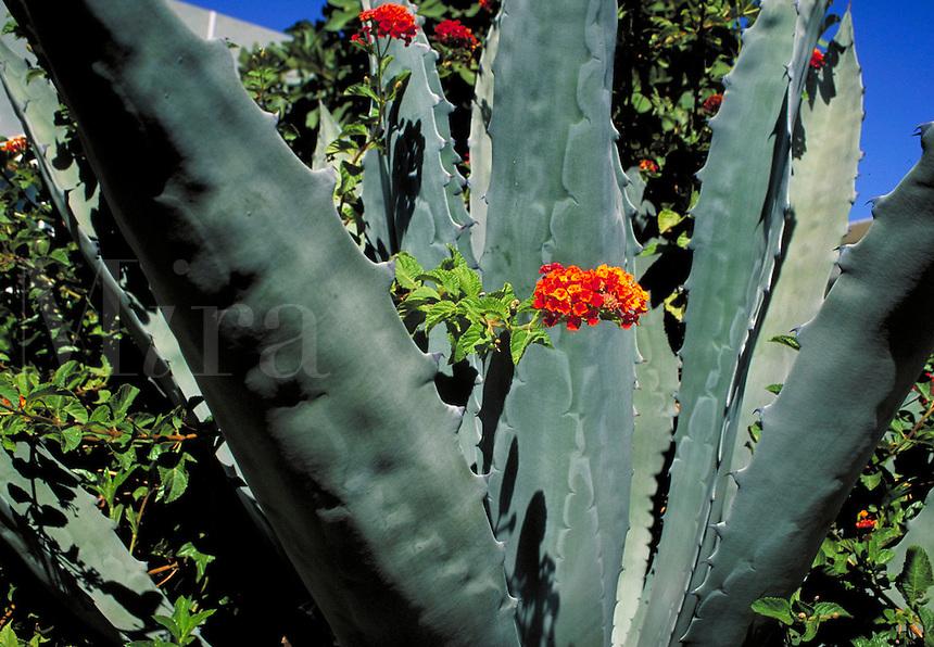 Landscape with agave cactus and red Lantana flowers. drought tolerant, garden, gardening, plants, flower, botany, succulent. Phoenix Arizona.