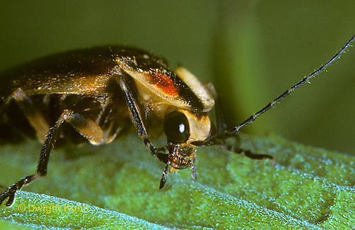 1C24-003z  Firefly - Lightning Bug - Close-up of Face and Eyes - Photuris spp.