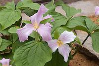 Trillium grandiflorum forma roseum, Pink Showy Large-Flowered Trillium in spring bloom