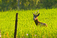 A young wild deer coming out from the forest to feed in a wheat field at sunset. Small antlers. Smaland region. Sweden, Europe.
