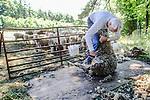 Man shearing sheep