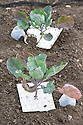 Brussels sprout seedlings fitted with home-made brassica colours to deter cabbage root flies from laying eggs in the soil around the base of the plant. The seedlings are also under nets to keep off birds and cabbage white butterflies.
