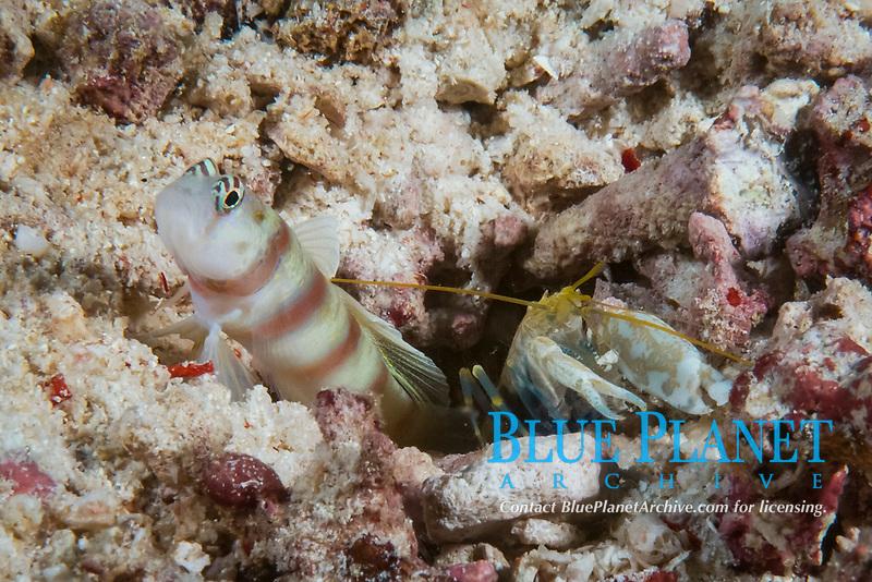 Steinitz' prawn goby, Amblyeleotris steinitzi, with snapping shrimp, Tanjung Island, Raja Ampat, West Papua, Indonesia, Indo-Pacific Ocean