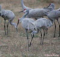 0102-1004  Flock of Sandhill Cranes Eating in Field during Winter, Grus canadensis  © David Kuhn/Dwight Kuhn Photography
