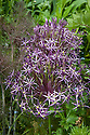 Allium christophii and bronze fennel,Great Dixter, early June.