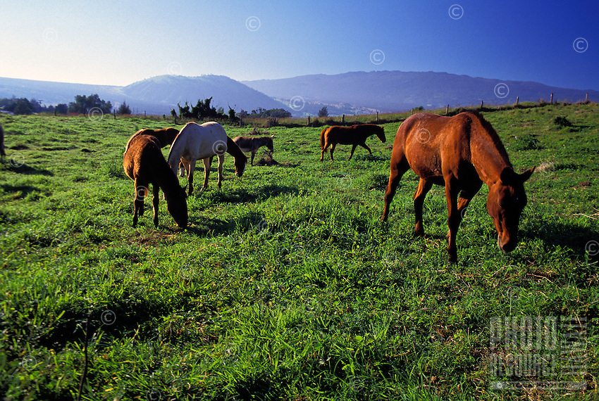 Horses out to pasture in Puuanahulu in the upcountry area of the Big Island, inland between Waimea and Kona