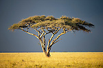 Acacia Tree (Acacia sp.) with thundery sky behind. Serengeti National Park, Tanzania.