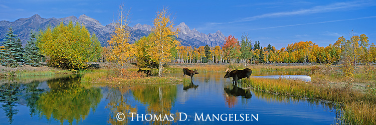 A cow and her calf discover a bull moose in their midst at a pond below the Teton Range in Northwest Wyoming.