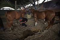 VILLAVICENCIO - COLOMBIA. 13-10-2018: Un vaquiano revisa los caballos antes de la competencia durante el 22 encuentro Mundial de Coleo en Villavicencio, Colombia realizado entre el 11 y el 15 de octubre de 2018. / Cowboy checks the horses before competing during the 22 version of the World  Meeting of Coleo that takes place in Villavicencio, Colombia between 11 to 15 of October, 2018. Photo: VizzorImage / Gabriel Aponte / Staff