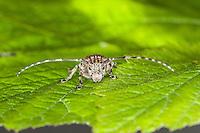 Graubindiger Augenfleckbock, Binden-Augenfleckenbock, Gemeiner Reisigbock, Graubindiger Augenbock, Mesosa nebulosa, White-clouded longhorn beetle
