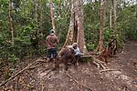 Bornean Orangutans (Pongo pygmaeus wurmbii) - drink milk from the Camp Leakey feeding platform. Ranger refilling.