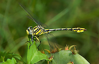 334120011 a wild male sulphur-tipped clubtail dragonfly gomphus militaris perches on a leafy plant at the southeast metropolitan park in austin travis county texas